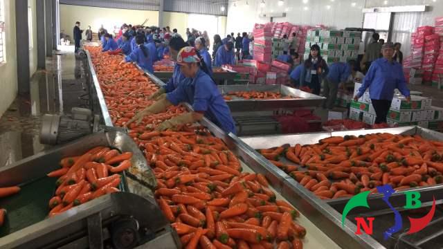 kho lạnh bảo quản cà rốt xuất khẩu